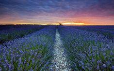 Lavender Field - Fields Wallpaper ID 1765691 - Desktop Nexus Nature Field Wallpaper, Nature Wallpaper, Provence France, Lavender Fields, Wallpaper Free Download, Embedded Image Permalink, My Dream, Scenery, Country Roads