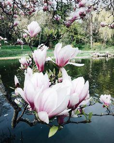 """""""Gorgeous Magnolia.Spring around! Прекрасная магнолия,невозможно ею налюбоваться и каждое дерево особенное. Доброе утро!"""""""