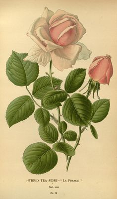"""Hybrid Tea Rose """"La France"""" - Plate 76 from """"Favourite flowers of garden and greenhouse"""" (Vol. 1) by Edward Step; London and New York: Frederick Warne & co., 1896"""