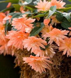 Bellagio Apricot begonia. 'Bellagio Apricot' begonia Begonia 'Bellagio Apricot' is a double-flowering begonia for shade with pendulous apricot flowers perfect for hanging baskets. It grows 14 inches tall and 2 feet wide