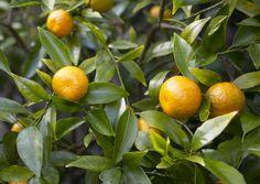 Willowleaf or Mediteranean Mandarin