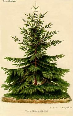 Abies nordmanniana, the Nordmann fir or Caucasian fir, is a fir indigenous to the mountains south and east of the Black Sea, in Turkey, Georgia, Russian Caucasus and northern parts of Armenia. ~ vintage Christmas image ~ The Feathered Nest