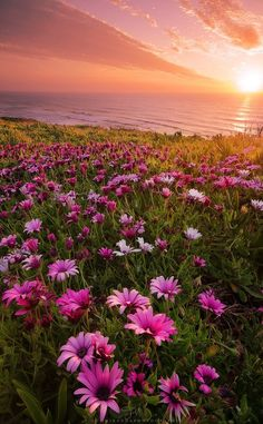 ~~Pink Spring   wildflowers at sunset, Silveira, Portugal   by Tiago Miranda ~~