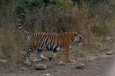 Do a safari stop in Ranthambore between Agra and Jaipur