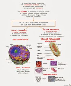 Paradiso delle mappe: Le cellule eucariote e procariote Human Body Activities, Reading Practice, Biology, Back To School, Homeschool, Medicine, Study, Science, Math