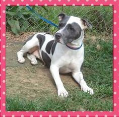 DIAMOND is an adoptable Pit Bull Terrier Dog in Marietta, GA. This beautiful girl is Diamond and she is as sweet as can be. Sadly she was an owner turn in on Aug. 6 th because seemingly the family mov...