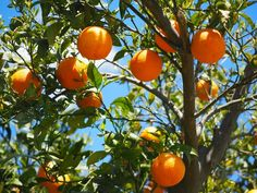Growing miniature fruit trees and non-native plants, even tropical fruit trees, IS possible on your homestead, no matter where you live – and should be! Miniature Fruit Trees and Non-Native Plants …