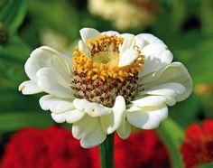 Ogród przed domem – jesienne kwiaty. Cynie. #jesień #kwiaty #ogród #pomysły #inspiracje #jesienne #kwiat #dom  #garden #ideas #flowers #autumn #green #colors #cynie