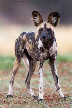 "beautiful-wildlife: "" African Wild Dog by © Gerry Van der Walt Madikwe Game Reserve - South Africa "" African Hunting Dog, African Wild Dog, Hunting Dogs, Game Reserve South Africa, Animals And Pets, Cute Animals, Exotic Animals, Wild Animals, Socializing Dogs"