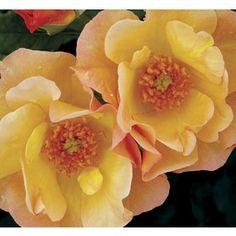 �1.6 Gallon(S) Morden Sunrise Rose (L25609)