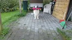Because sometimes what you need most is a beautiful and floofy doggo, in this case an Australian shepherd named Zion, dancing with a frilly pink umbrella for his human Pernille Sørensen. Funny Animal Videos, Funny Animal Pictures, Cute Funny Animals, Cute Baby Animals, Funny Dogs, Animals And Pets, Animal Pics, Cute Puppies, Cute Dogs