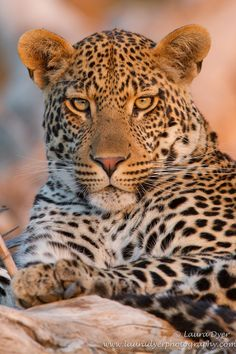 Male Leopard in the Sabi Sands
