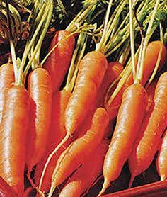 Carrots Little Finger Carrot Seeds Organic NONGMO 100 seeds per packageLittle Finger carrots are a smaller version of traditional carrots and are a sweet and juicy addition to your backyard garden >>> You can get more details by clicking on the image.