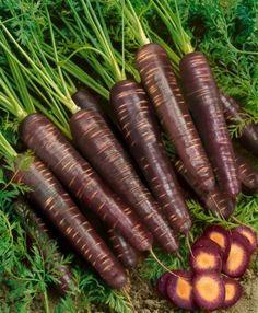 Purple Haze Hybrid Carrot Seeds - Daucus Carota Var. Sativus - 0.25 Grams - Approx 150 Gardening Seeds - Vegetable Garden Seed