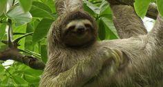 Sloth From Zootopia Funny Gif - Funny Sloth Gifs Baby Sloth, Cute Sloth, Funny Sloth, Baby Otters, Especie Animal, Mundo Animal, Baby Animals, Funny Animals, Cute Animals
