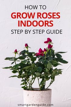 Miniature roses make beautiful houseplants, but it can be challenging to keep them in good health and producing those gorgeous blooms. This article covers everything you need to know about miniature rose care indoors, including how to fix all the common houseplant care problems. Peace Lily Plant Care, Rose Plant Care, Rose Care, Indoor Flowering Plants, Blooming Plants, Outdoor Plants, Smart Garden, Growing Roses, Planting Roses