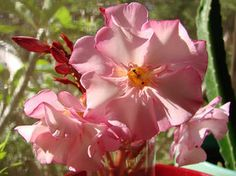 OLEANDER HAUS  Nerium Oleander Gotsis Adonis Rose Bay, Nerium, Natural Beauty, Flowers, Plants, Vintage, Sweet, House, Gardening