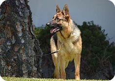 Mira Loma, CA - German Shepherd Dog. Meet Erin, a dog for adoption. http://www.adoptapet.com/pet/15443870-mira-loma-california-german-shepherd-dog