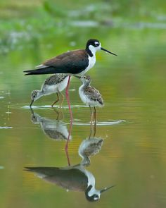 Black-necked Stilt shore bird