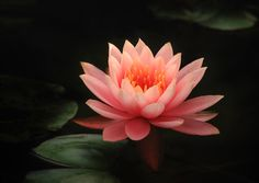 Photograph Water lilies by lao chen on 500px