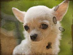 Chihuahua Breeders in Virginia