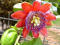 Passion-fruit flower