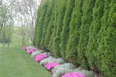 privacy hedge with arborvitae. Might try this at the back. If we blocked the view of e house on the other street it would feel like we are in the woods.