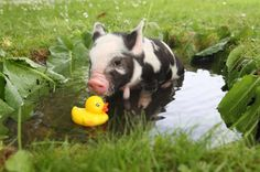 Little Piggy bathing with her Ducky  (Photo Taken by: Richard Austin)