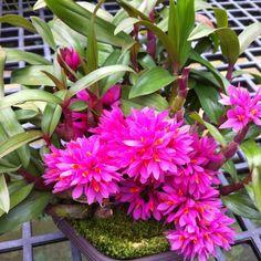 Dendrobium Hibiki (bracteosum x laevifolium)