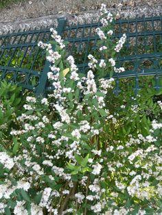 10: Deutzia scabra 'Plena' / Deutzie 'Plena' / Gefüllter Sternchenstrauch – sehr robustes und frosthartes Ziergehölz, das für eine wahres Blütenmeer sorgt.
