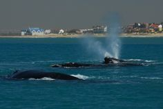 Whales in Algoa Bay with Port Elizabeth in the background.