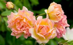 Return of the English country garden as rose bushes back in major demand for first time since the 1960s