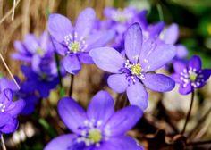 Blåsippor -spring flower, sweden