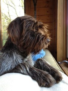 Wirehaired Pointing Griffon :)