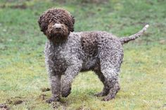 Lagotto Romagnolo. They are members of the sporting group. They are great truffle searchers. They stand at 15-20 inches at the shoulder and weigh about 25-35 pounds.