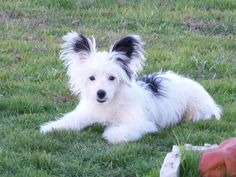 chinese crested powder puff grooming styles - Google Search