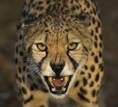 """Résultat de recherche d'images pour """"cheetah anatomie"""""""