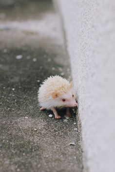 Albino Hedgehog. It is one of the sweetest things I have ever seen!