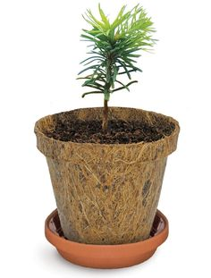 A fun, easy way to grow your own Scotch pine seedling. Contains everything you need to germinate and raise your own Christmas tree sapling. Live Christmas Trees, Christmas Post, Xmas, Pine Seeds, Tree Seedlings, Cone Trees, Spruce Tree, Seasonal Celebration, Grow Kit