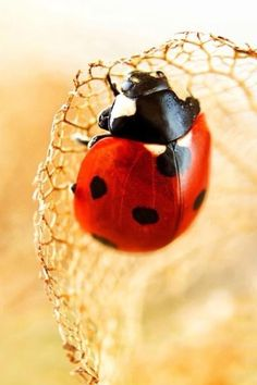 Ladybug by roslyn She's A Lady, Lady In Red, Stone Painting, Diy Painting, Fotografia Macro, A Bug's Life, Lucky Ladies, Bugs And Insects, All Gods Creatures