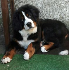 Little Dogs, Big Dogs, Dogs And Puppies, Cute Dogs, Boxer Dog Puppy, Dog Cat, Boxer Dogs Facts, Army Dogs, Swiss Mountain Dogs
