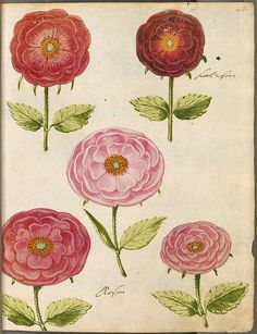 Hortulus Monheimensis 00107 17th cent. florilegium from Bavaria  by peacay on Flickr.