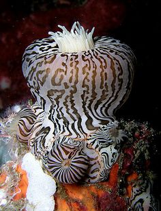 unusual sea anemone, looks like zebra stripes - (CC) Nick Hobgood - Life Under The Sea, Under The Ocean, Sea And Ocean, Pacific Ocean, Underwater Creatures, Underwater Life, Underwater Photos, Bizarre Animals, Fauna Marina