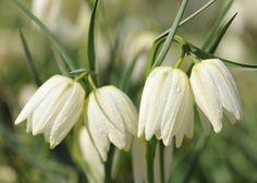 white-flowered snake's head fritillary bulbs