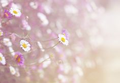 Pink & White Daisies | City of Blackbirds Photography