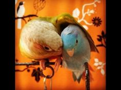 The Story of A Parrotlet & Conure Friendship - YouTube