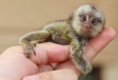 Adorable little finger monkey the size size of your pinky finger :) Animals Of The World, Animals And Pets, Funny Animals, Cute Animals, Strange Animals, Top 10 Cutest Animals, Baby Animals Super Cute, Ugliest Animals, Marmoset Monkey
