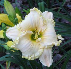 Daylily, Hemerocallis 'Jane's Hope' (Owen, 2010)