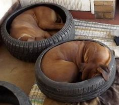 interesting how RR like to curl up in used tire beds.. most likely inherited trait of curling in outcroppings of Africa for protection