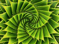 Green Spiral by meurer, a photographer can create magic when taking photos of plants. The intricate nature of these plants is almost dumbfounding.growing out there with such a complex and beautiful structure. Fractals In Nature, Spirals In Nature, Nature Plants, Desert Plants, Patterns In Nature, Textures Patterns, Nature Pattern, Photographie Macro Nature, Fibonacci Spiral